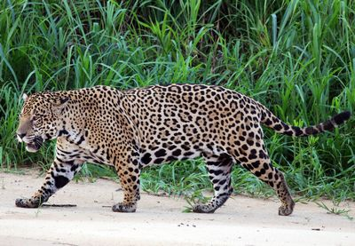 Jaguar отказался от универсалов